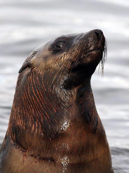 fur seal 2